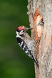 Lesser spotted woodpecker feeding chick at its nest