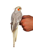 A cockatiel pet bird sitting on a hand isolated on white