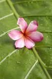 Plumeria flowers on leaf background