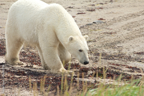 Sniffing Polar Bear at the beach