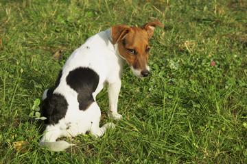 Jack Russel puppy sad