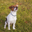 Jack Russel puppy posing
