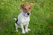 Jack Russel puppy obedient