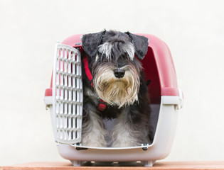 Schnauzer looking out from his plastic carrier