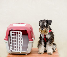 Schnauzer sitting next to his plastic carrier