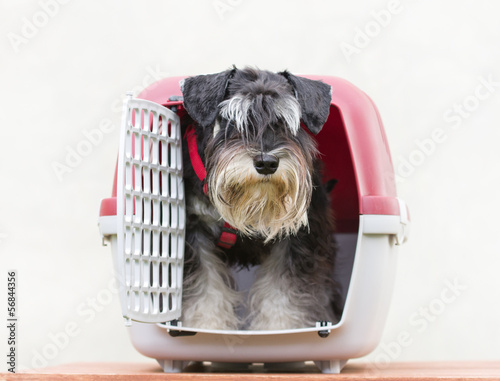 Foto op Canvas Dragen Schnauzer looking out from his plastic carrier