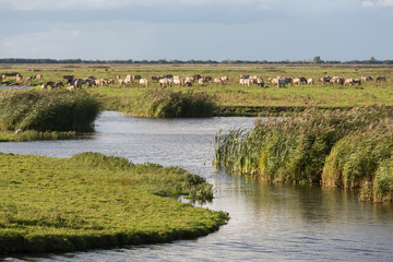 Dutch wetland with horses in National Park Oostvaardersplassen