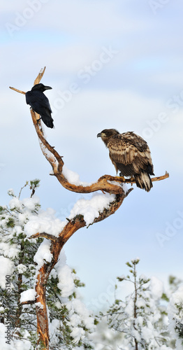 White-tailed eagle and Crow on tree