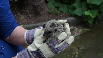 hedgehog in caring hands