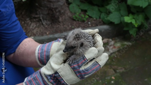 hedgehog in caring hands