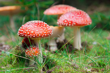 Fly-agaric in a forest
