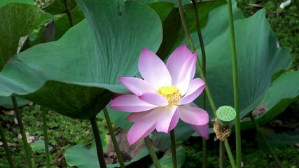 Rosy lotus flower & seed head at a pond.