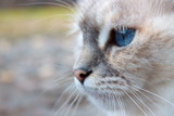 White cat head with blue eyes, muzzle and whiskers in close-up poster