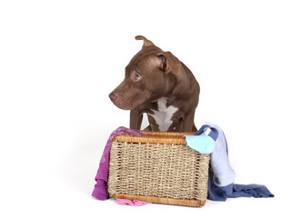 pitb bull in a basket of dirty laundry