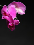 Phalaenopsis. Purple orchid on black background