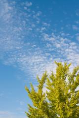 autumn sky and ginkgo tree