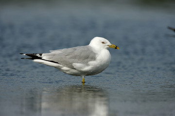 Ring-billed gull, Larus delawarensis,