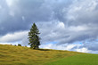 lonely spruce on green hill over sky