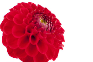 Red Dahlia flower, white background.