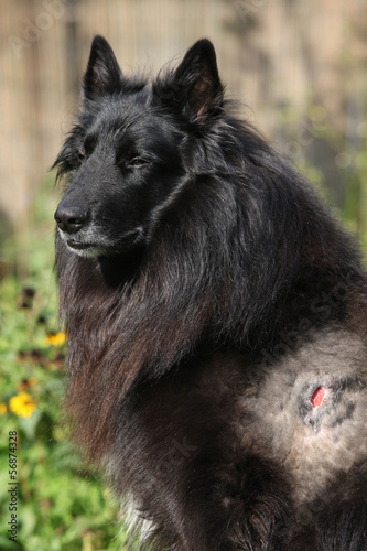 Injured groenendael after fight with other dog