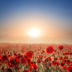 red poppy field at the early morning