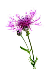 Brown knapweed (Centaurea jacea) isolated on white background