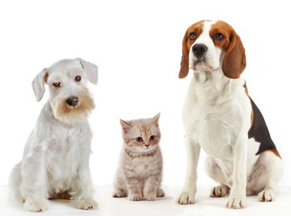 three domestic animals cat and dogs