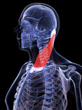 3d rendered illustration of the sternocleidomastoid muscle poster