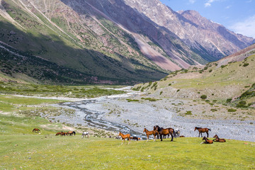 Horses in high mountains