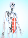 3d rendered illustration of the abdominal musculature poster