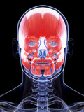 3d rendered illustration of the human facial musculature poster