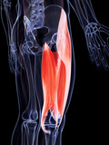 3d rendered illustration of the upper leg musculature poster