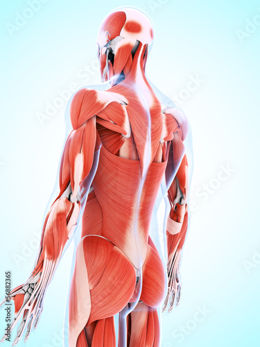 poster of 3d rendered illustration of the male musculature