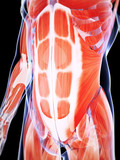 3d rendered illustration of the male musculature poster