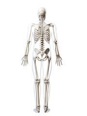 3d rendered illustration of the human skeleton