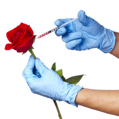 Injection into red rose isolated. Genetically modified flower