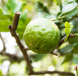 Kaffir Lime or Bergamot fruit on tree