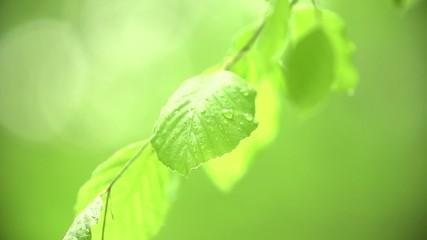 Blätter mit Wassertropen Baum