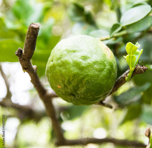 Kaffir Lime or Bergamot fruit on tree © photo2life