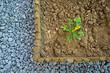 zucchini small plant