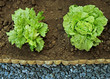 Two lettuce