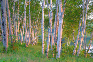 Birch tree grove at sunrise on the Machias River
