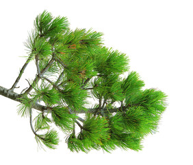 branch of pine, isolated