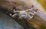 Crab on the balance beam