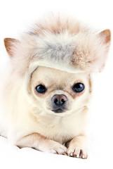 cute chihuahua in fur cap