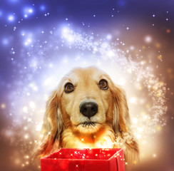 Dachshund opening a magic box
