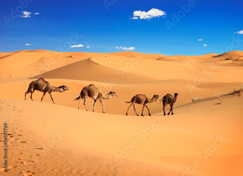 Camel caravan in the Sahara desert, Morocco