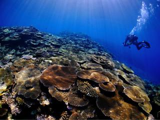 珊瑚の群生とダイバー