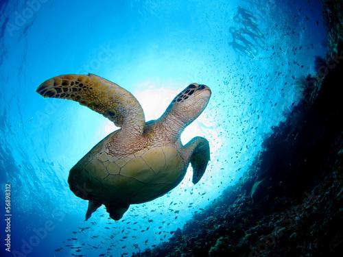 南国の海を泳ぐウミガメ