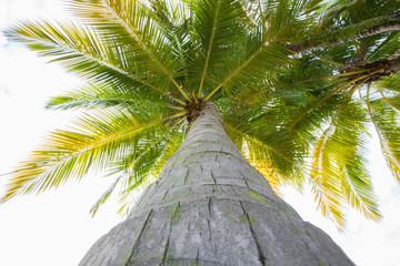 Coconut tree reaching upwards